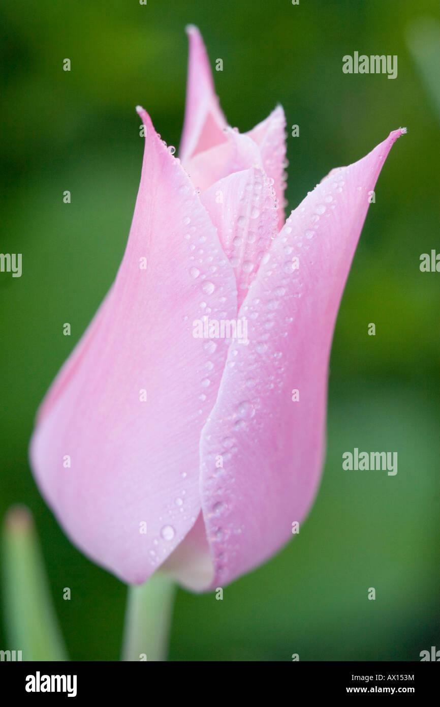 Detail shot of a star tulip, Vulkaneifel, Germany, Europe Stock Photo