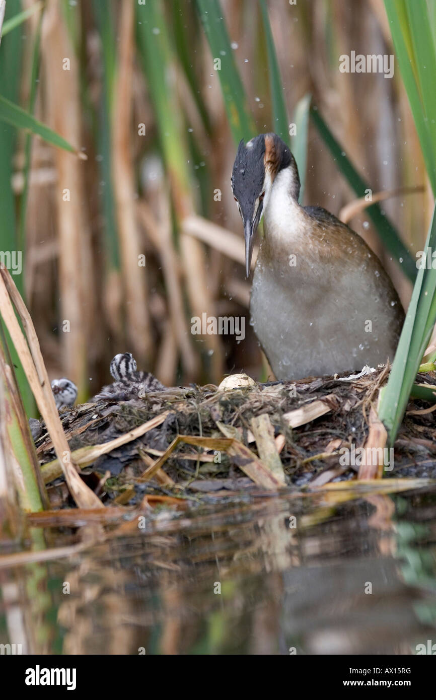 Great Crested Grebe (Podiceps cristatus) standing on nest, with three hatchlings and one unhatched egg visible, Stock Photo