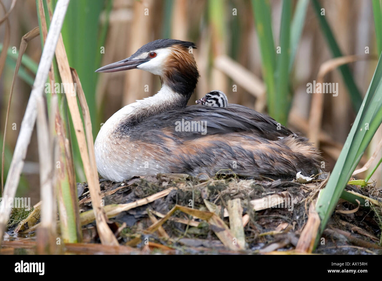 Great Crested Grebe (Podiceps cristatus) sitting on nest, with hatchling visible, Vulkaneifel, Germany, Europe Stock Photo