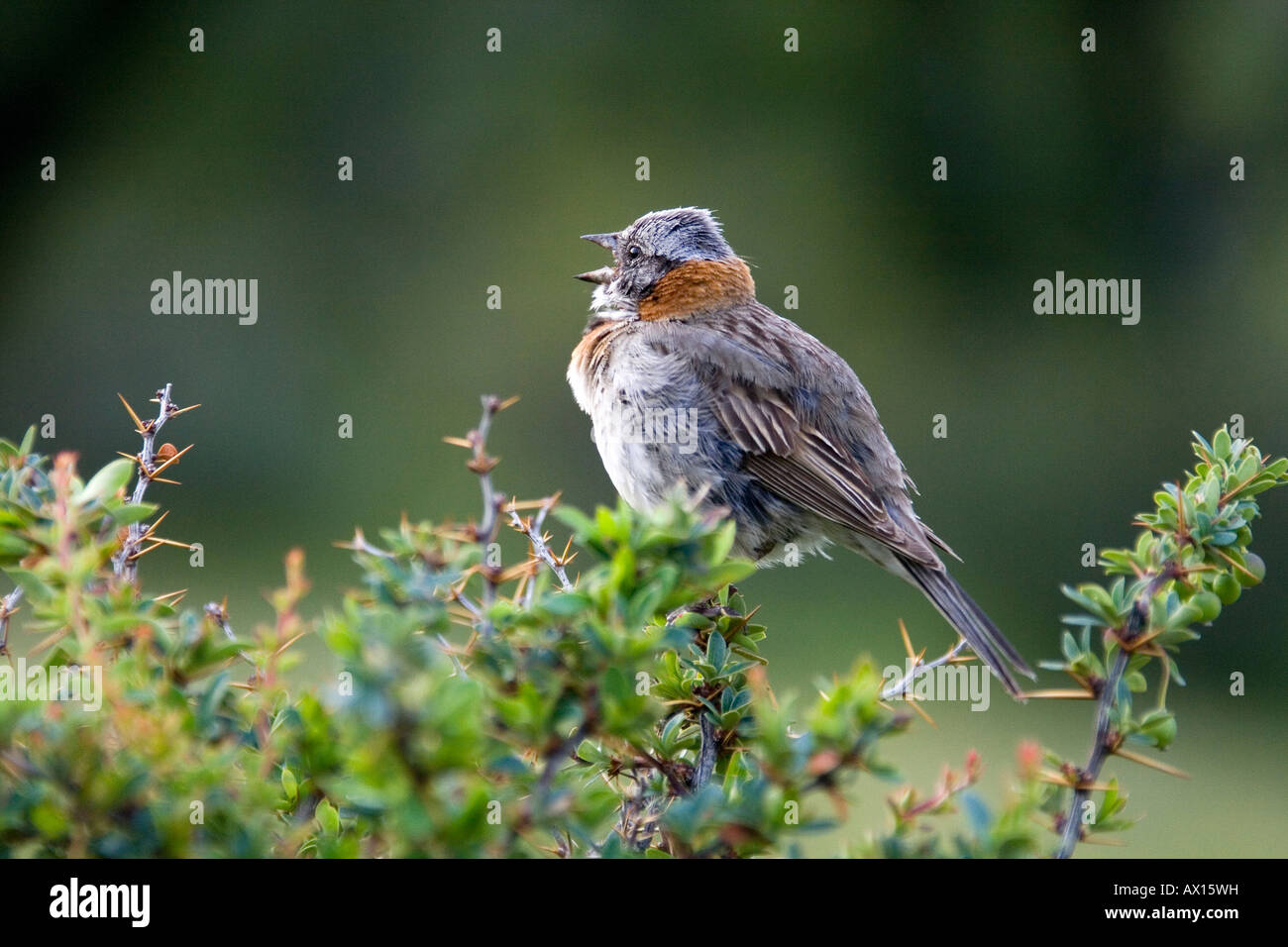 Rufous-collared Sparrow (Zonotrichia capensis) calling in Torres del Paine National Park, Patagonia, Chile, South Stock Photo