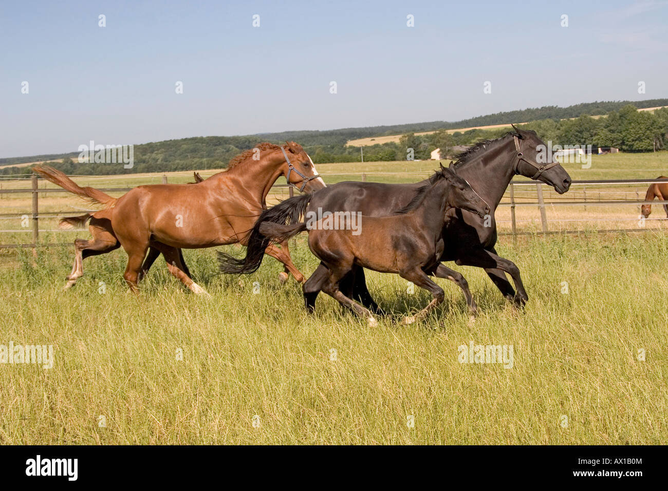 Two mares galloping over a meadow alongside their foals - Stock Image