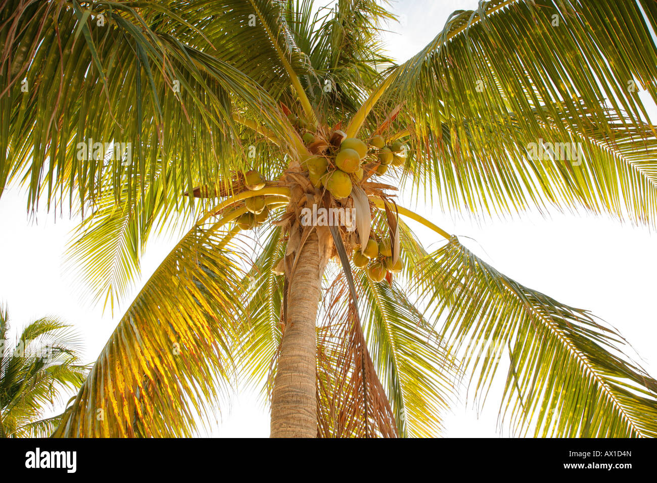 Coconut palm, tree, low angle view, Isla Mujeres, Cancun, Mexico - Stock Image