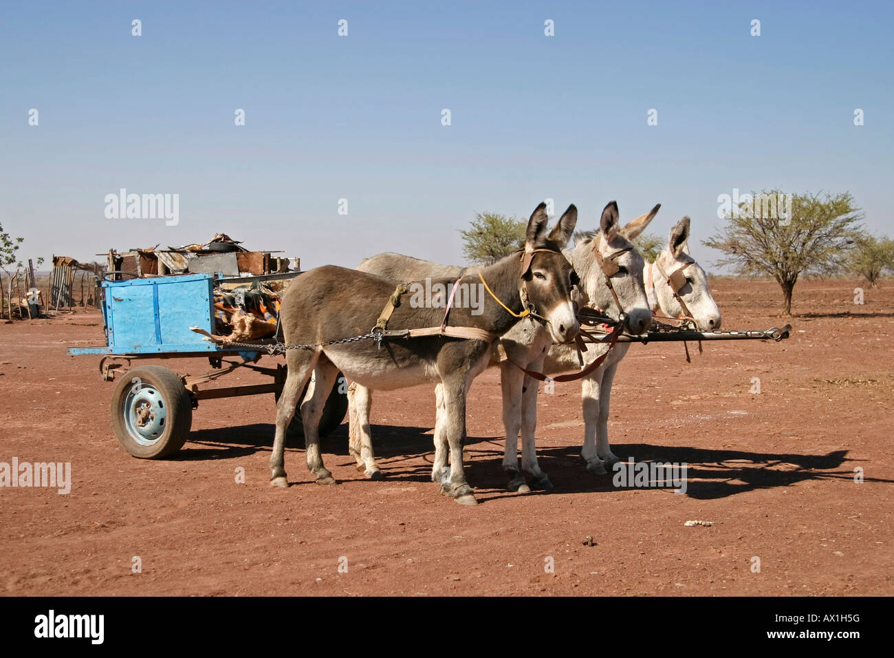 Donkeys with Donkey cart, South of Namibia, Africa Stock Photo