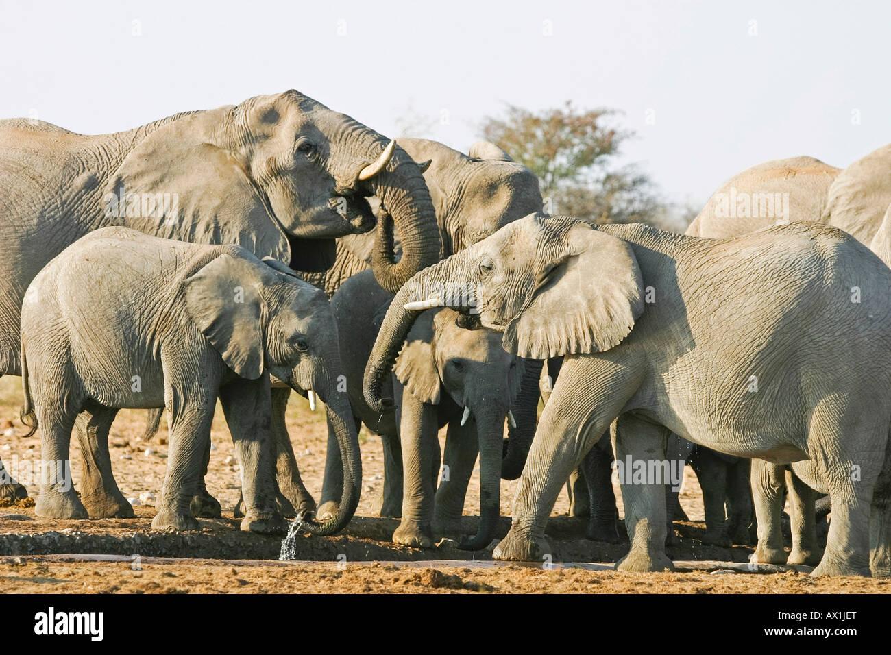Elephant herd (Loxodonta africana) at waterhole, Etosha National Park, Namibia, Africa Stock Photo