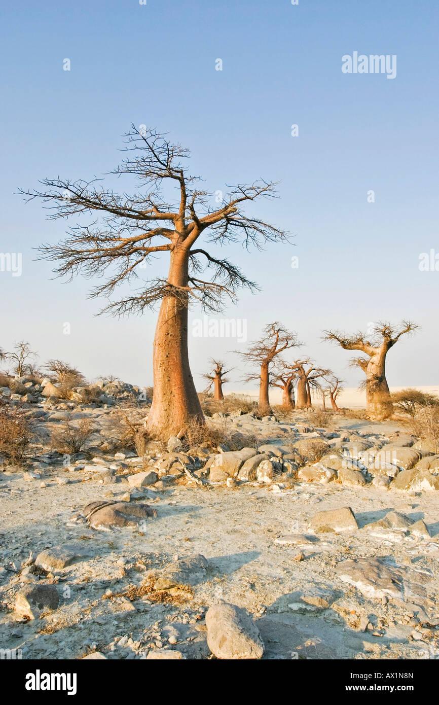Baobabs or Adansonia digitata on Kubu Island (Lekubu) in the south west of Sowa Pan, Makgadikgadi pans, Botswana, - Stock Image