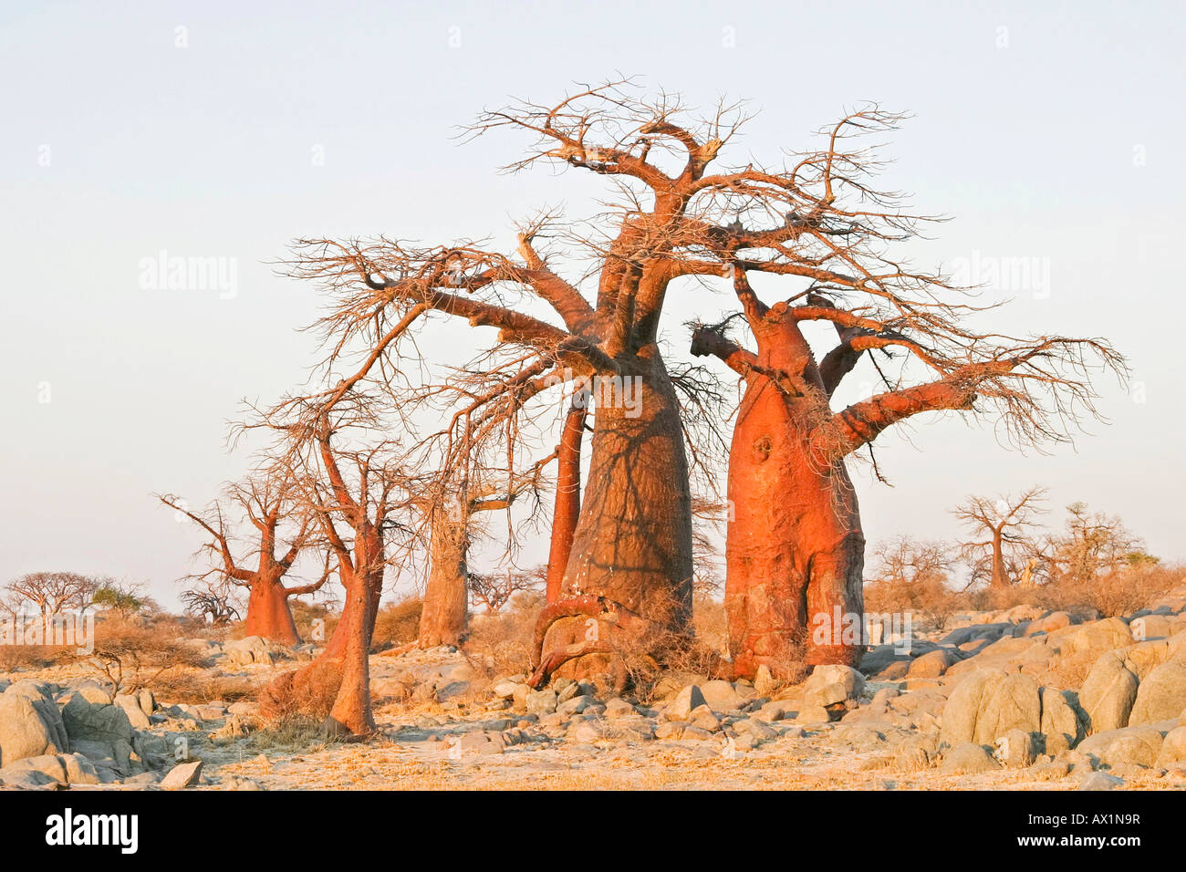 Baobabs or Adansonia digitata on Kubu Island (Lekubu) in the south west of Sowa Pan, Makgadikgadi pans, Botswana, Stock Photo