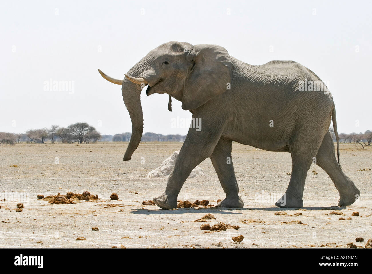African Elephant (Loxodonta africana) Nxai Pan, Makgadikgadi Pans National Park, Botswana, Africa Stock Photo