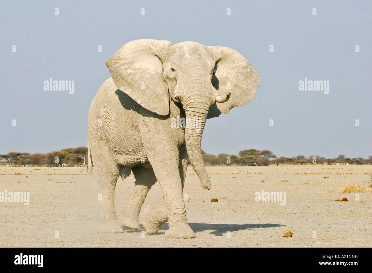 African Elephant (Loxodonta africana) attack, Nxai Pan, Makgadikgadi Pans National Park, Botswana, Africa Stock Photo