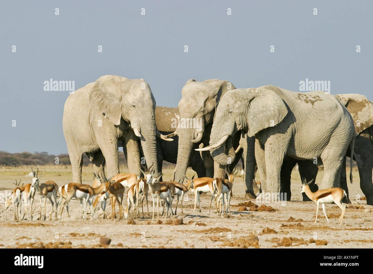 African Elephants (Loxodonta africana) and springboks (Antidorcas marsupialis), Nxai Pan, Makgadikgadi Pans National Stock Photo