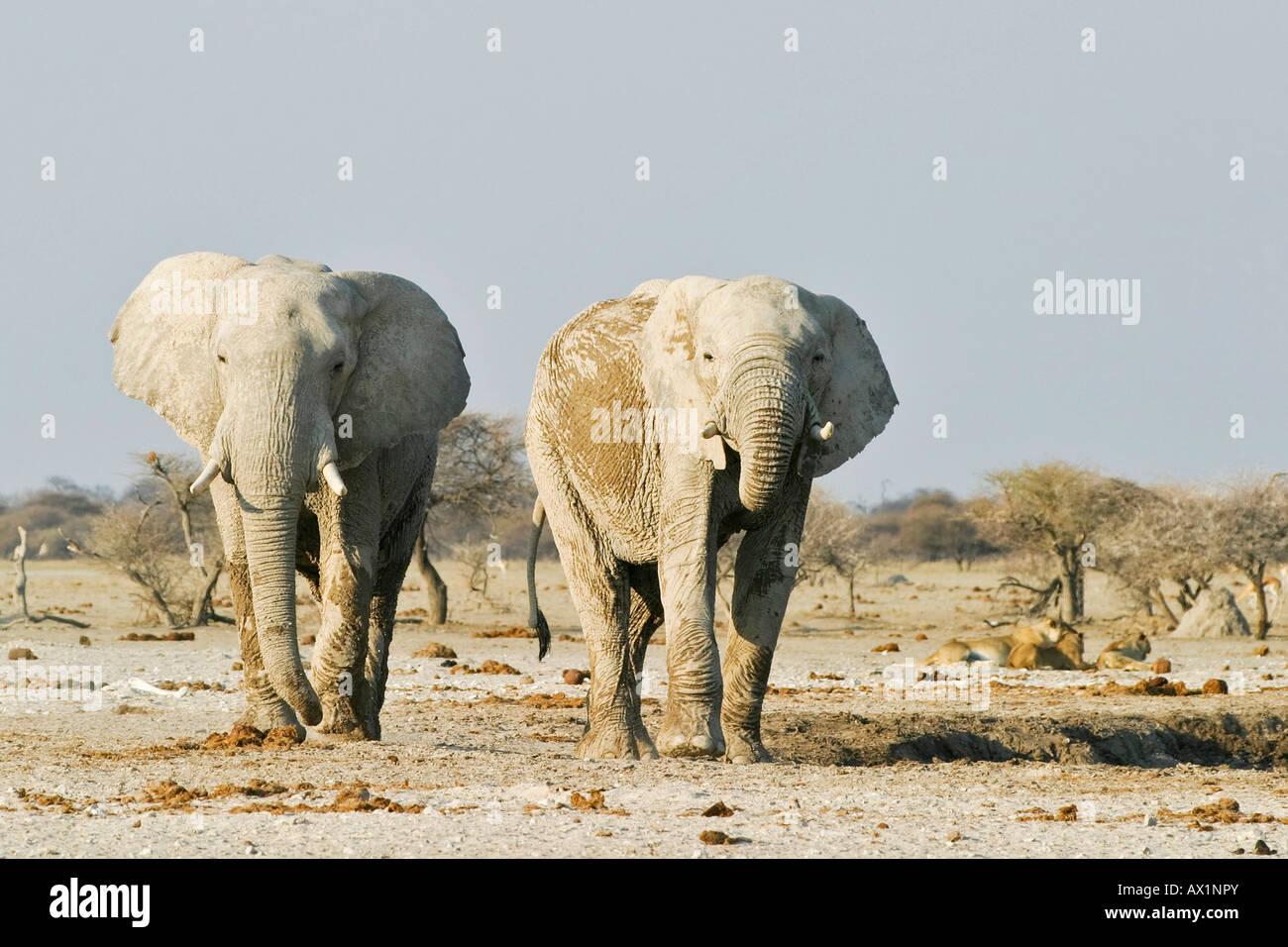 African Elephants (Loxodonta africana) and lions (Panthera leo) in the background, Nxai Pan, Makgadikgadi Pans National Stock Photo