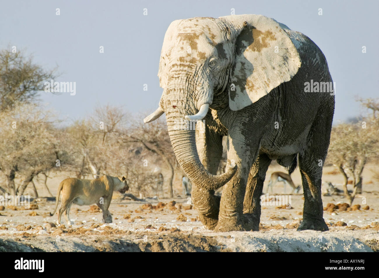 African Elephant (Loxodonta africana) and lionness (Panthera leo), Nxai Pan, Makgadikgadi Pans National Park, Botswana, Stock Photo