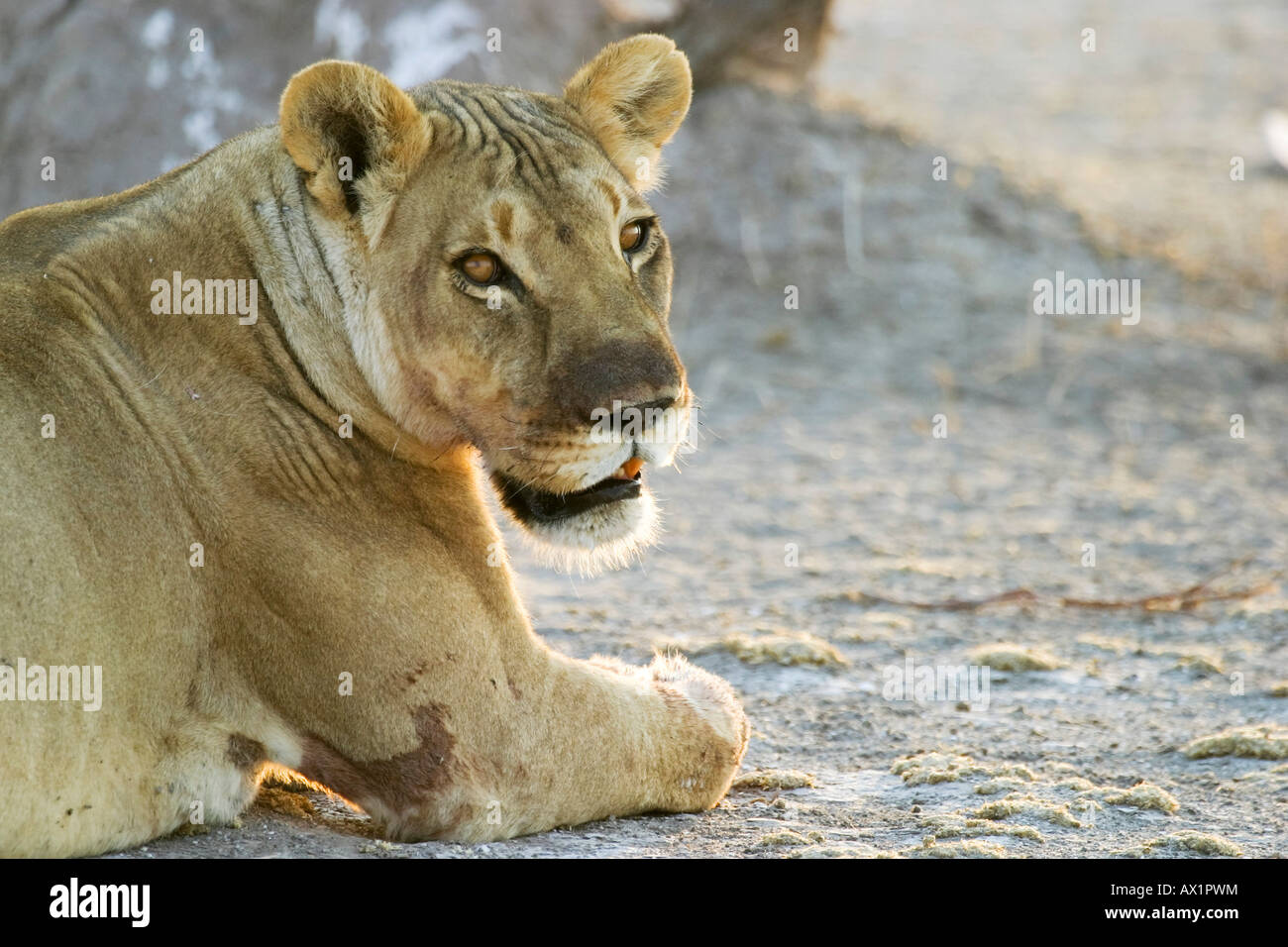 Lioness (Panthera leo) Nxai Pan, Makgadikgadi Pans National Park, Botswana, Africa Stock Photo