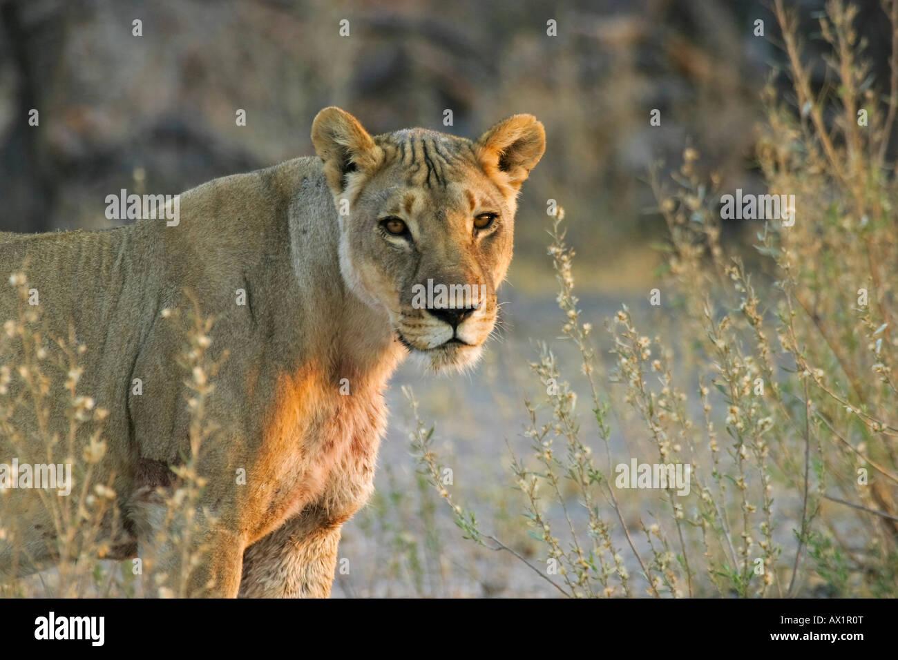 Lioness (Panthera leo) Nxai Pan, Makgadikgadi Pans National Park, Botswana, Africa Stock Photo