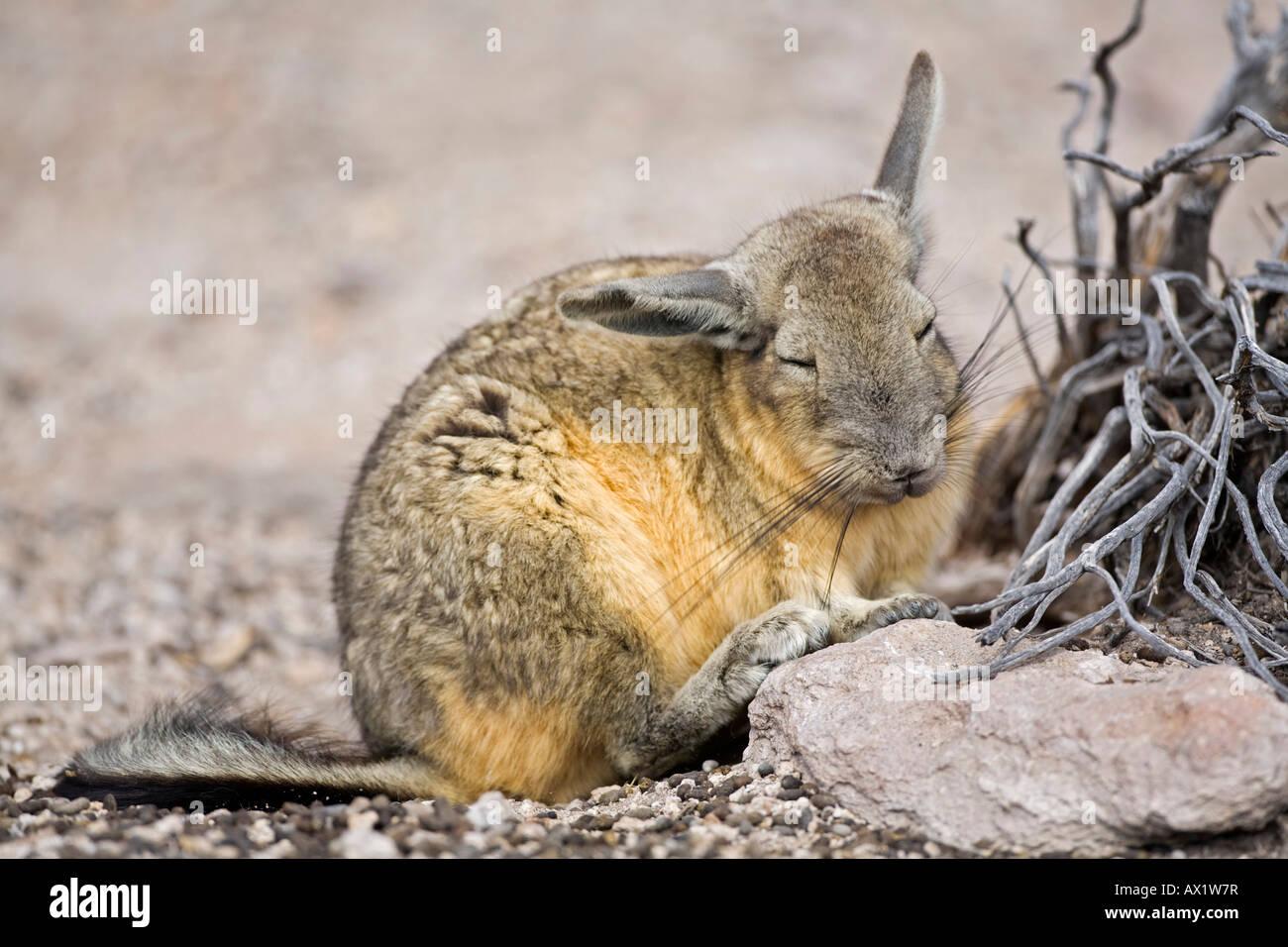 Viscacha (Lagidium) relatives from the Chinchillas in the rocks, Conaf station Las Cuevas, national park Lauca, - Stock Image