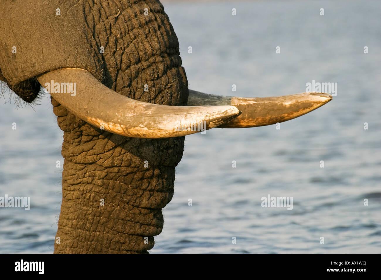 Rostrum and tusks, african elephant (Loxodonta africana) at the Chobe River, Chobe National Park, Botswana, Africa - Stock Image