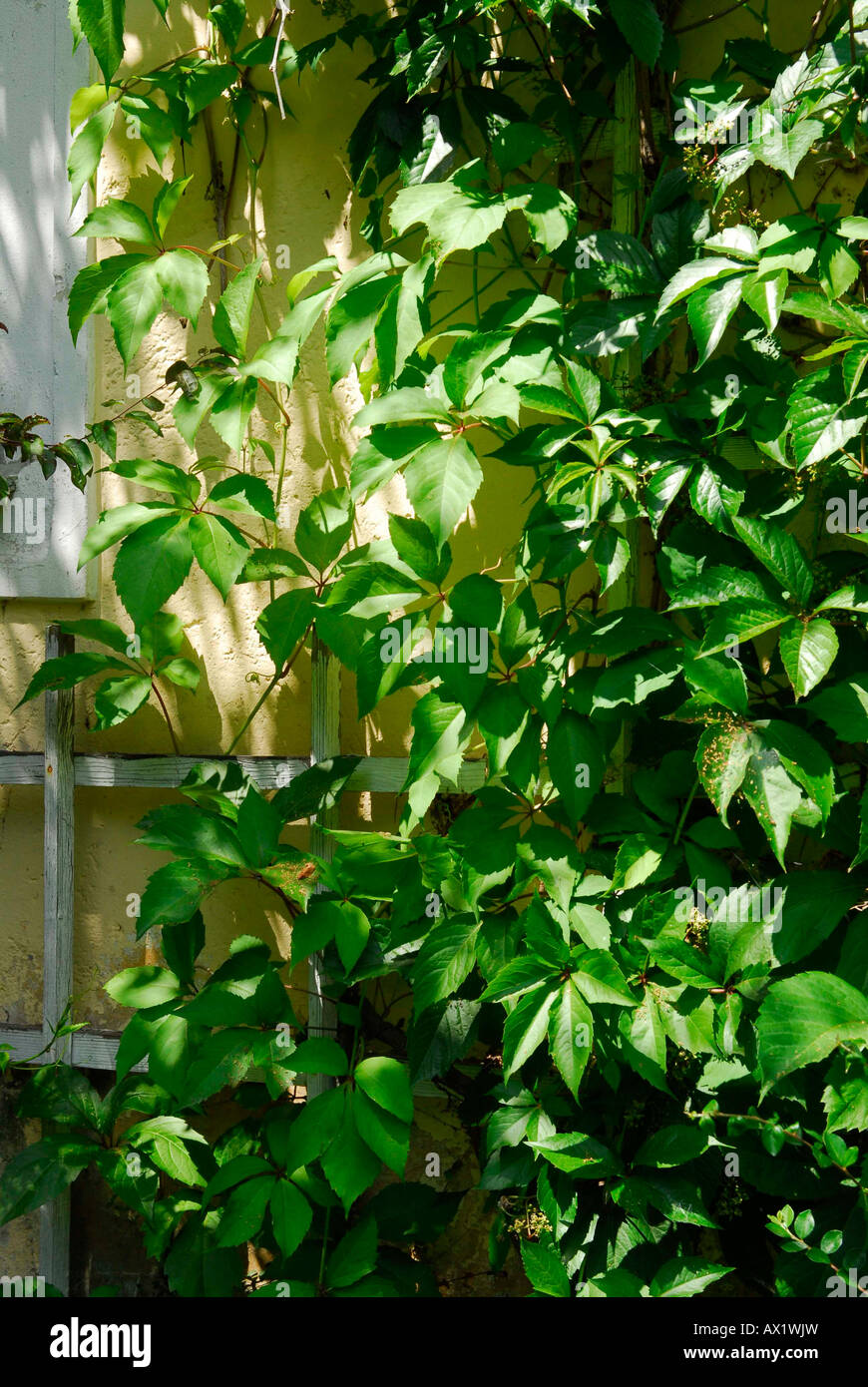 Wild vine Stock Photo