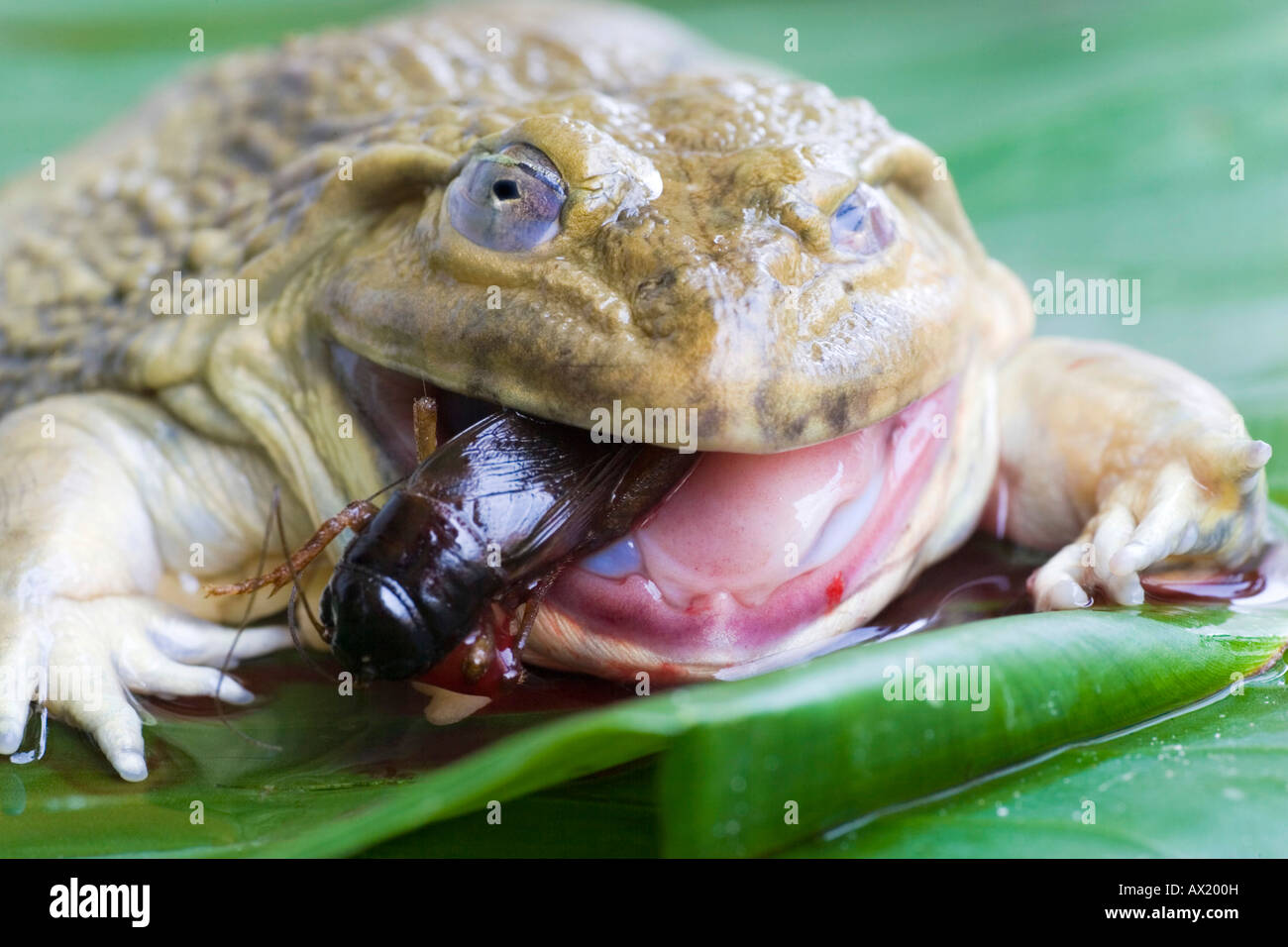 Toad (Bufonidae) eating a cricket (Gryllidae) - Stock Image