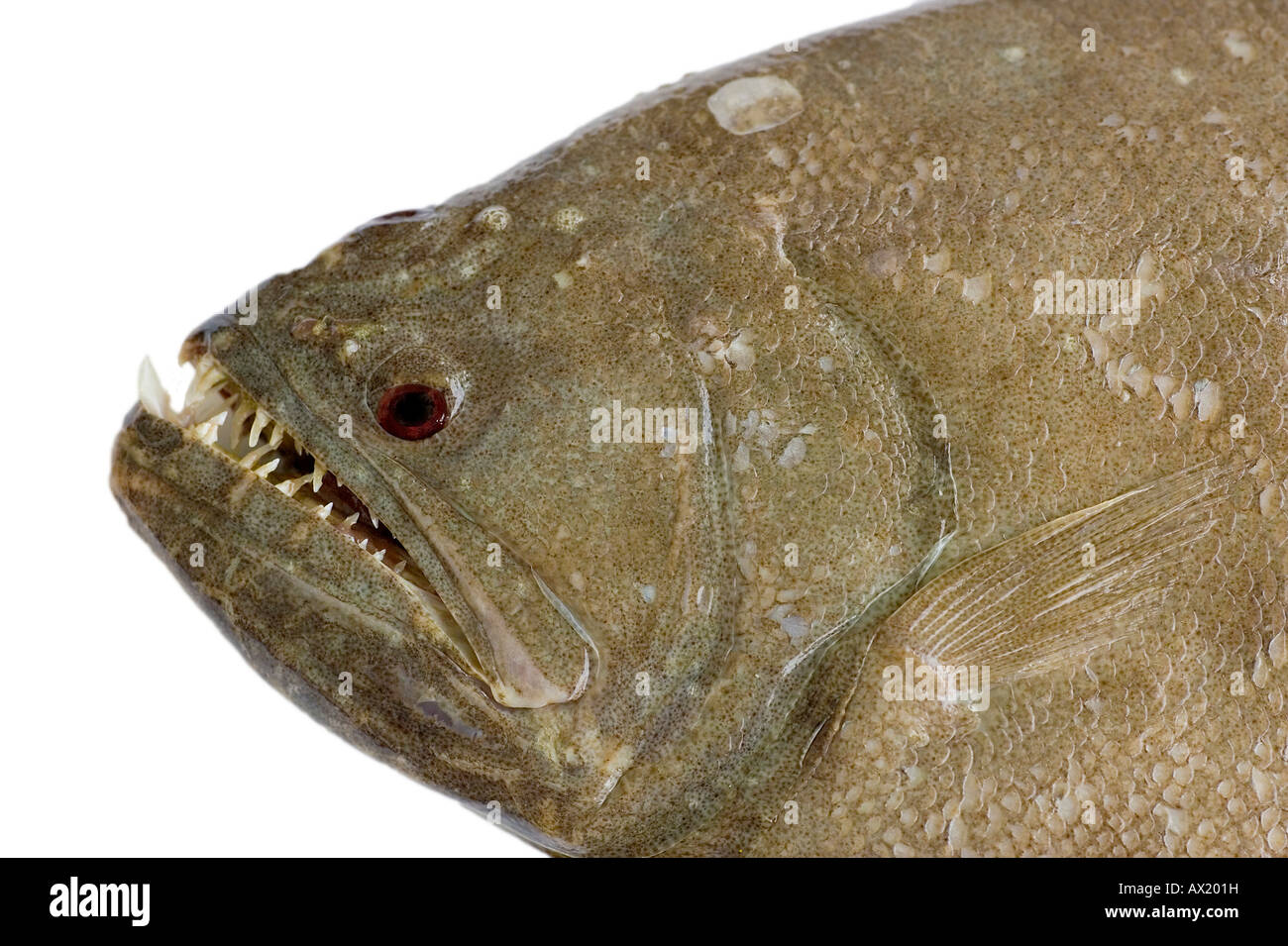 Flatfish indian halibut ( Psettodes Erumei ) - Stock Image