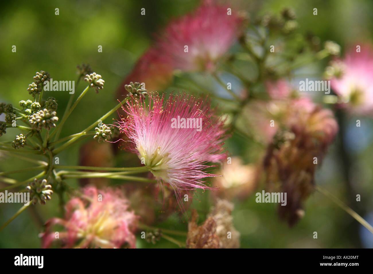 Persian silk tree or pink siris albizia julibrissin crete greece persian silk tree or pink siris albizia julibrissin crete greece europe mightylinksfo