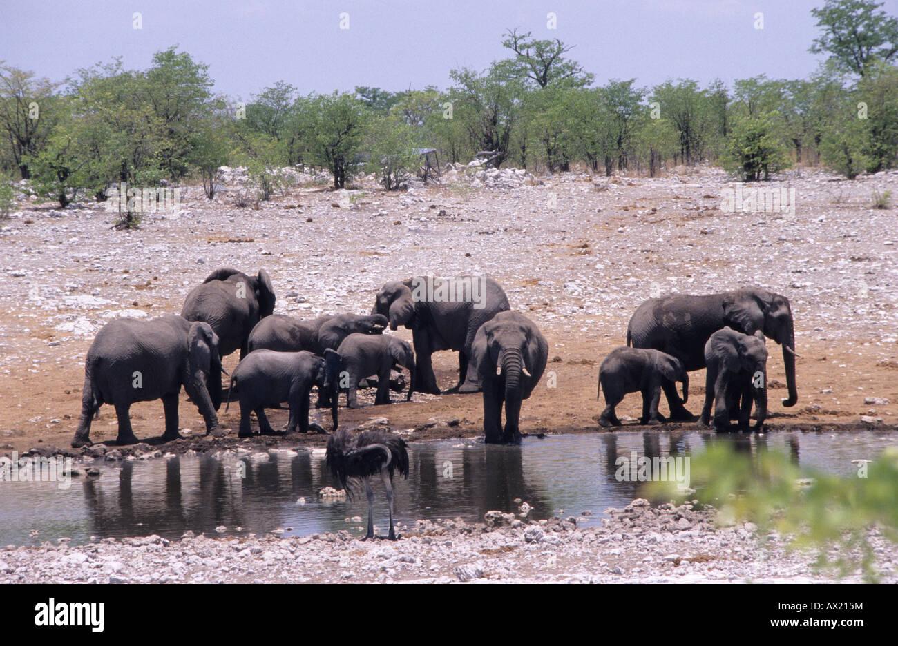Herd of Elephants (Elephantidae), Namibia, Africa - Stock Image