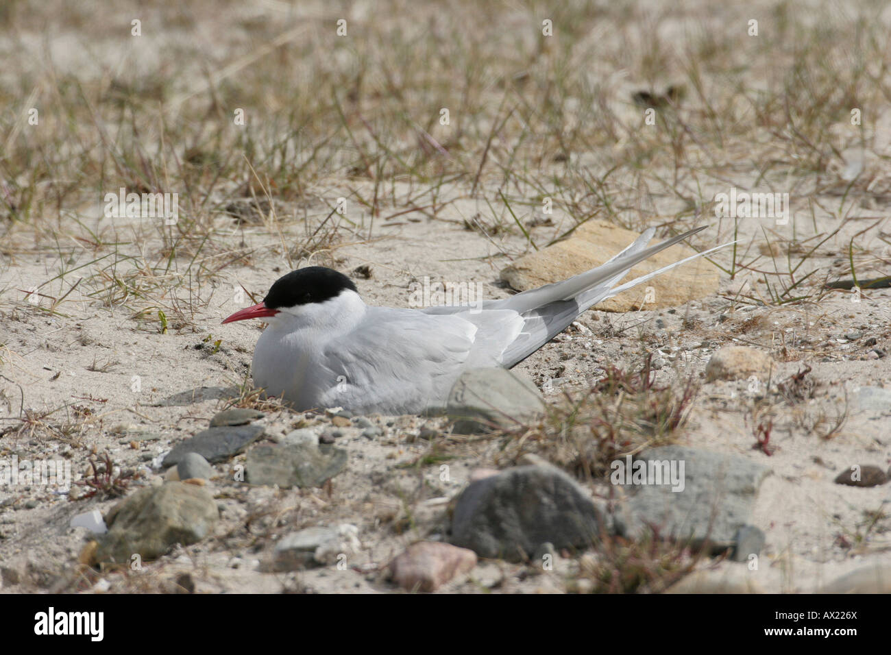 Arctic Tern (Sterna paradisaea), northern Norway, Europe - Stock Image