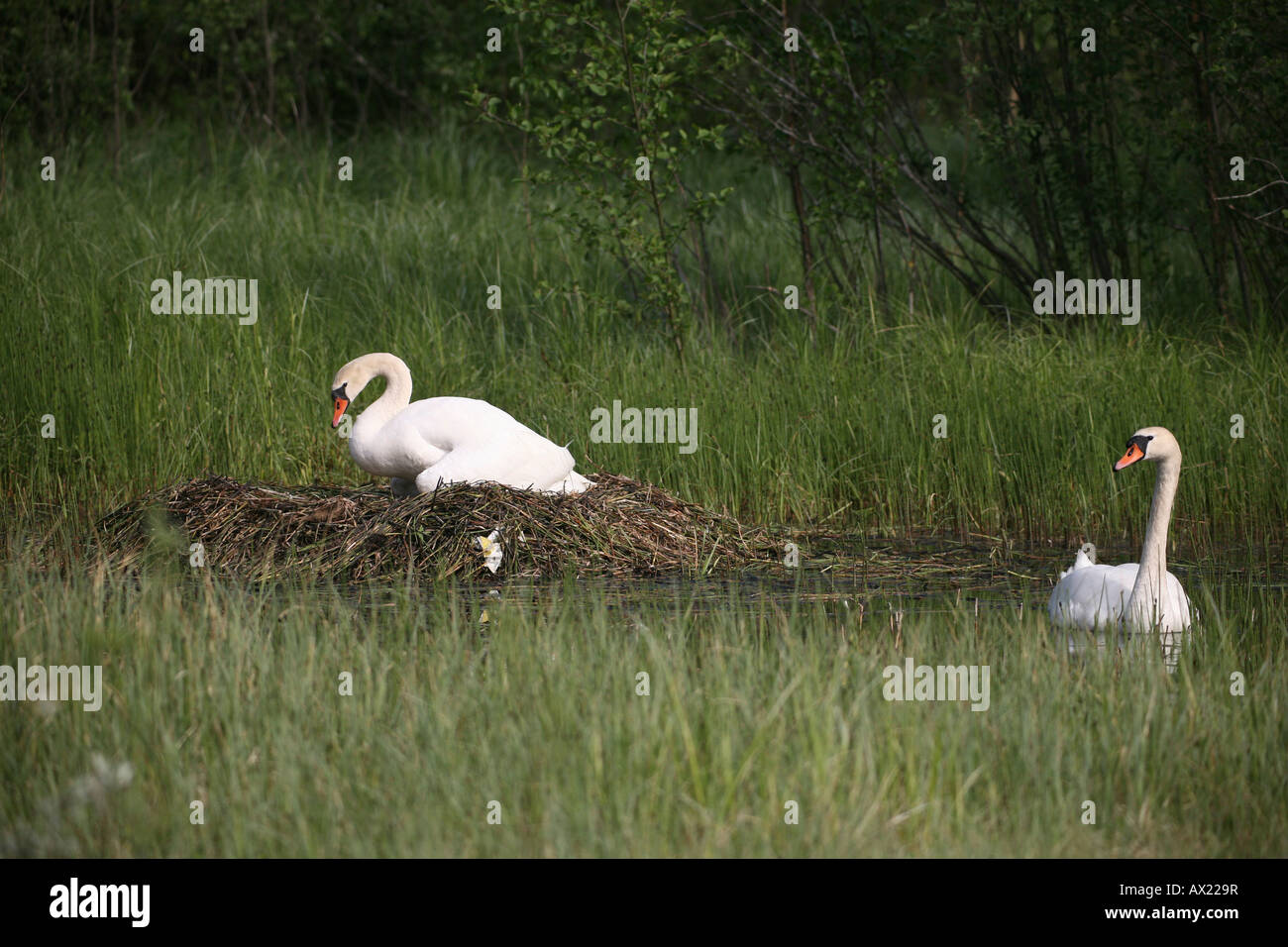 Mute Swans (Cygnus olor), their nest on an overgrown lake, Sweden, Europe Stock Photo