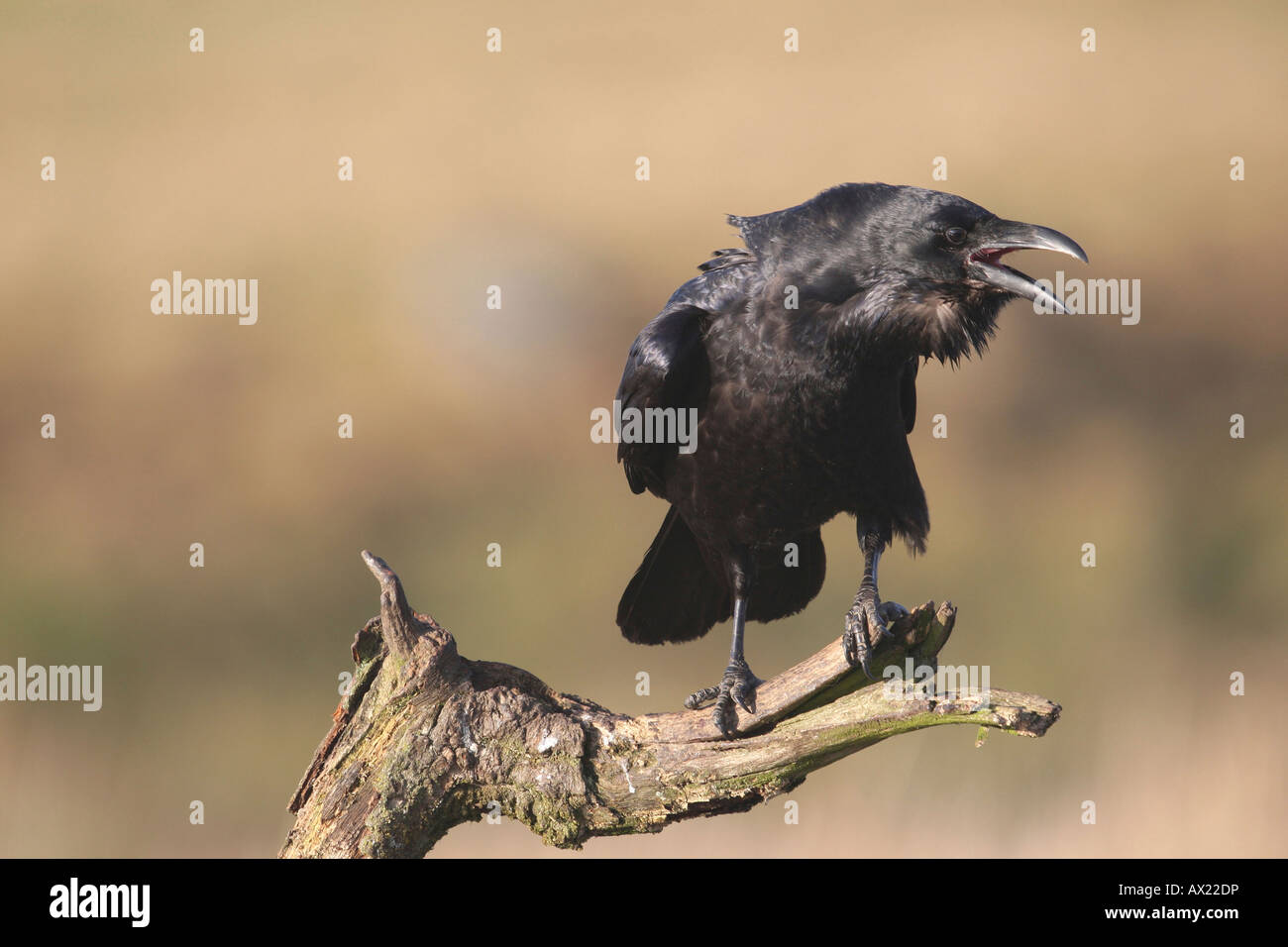 Common or Northern Raven (Corvus corax), mating call Stock Photo