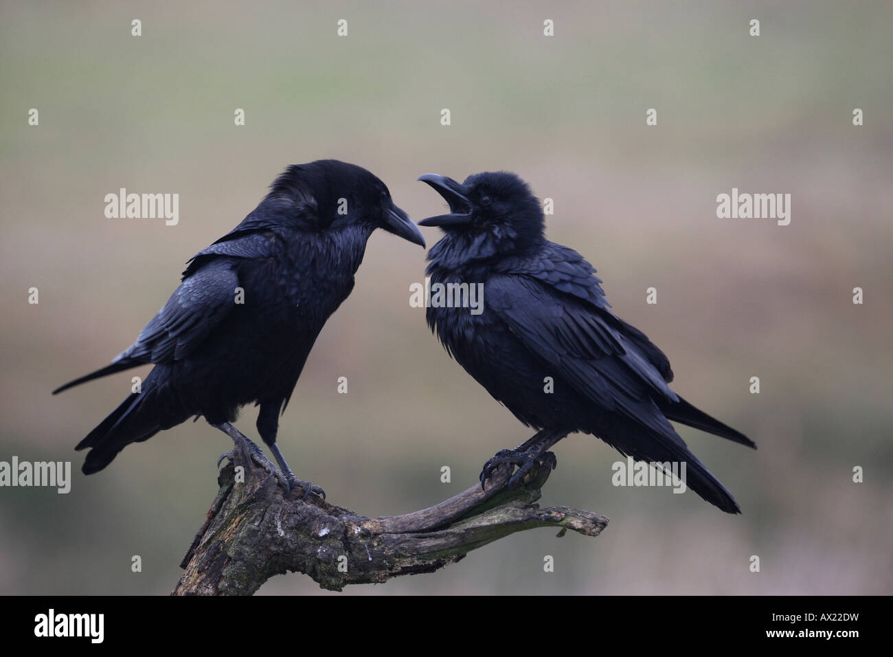 Common or Northern Ravens (Corvus corax), mating behavior Stock Photo