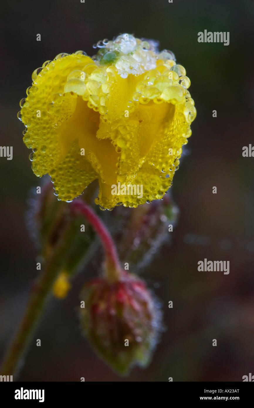 Common Rockrose (Helianthemum nummularium), Donauauen, Ingolstadt, Bavaria, Germany, Europe Stock Photo