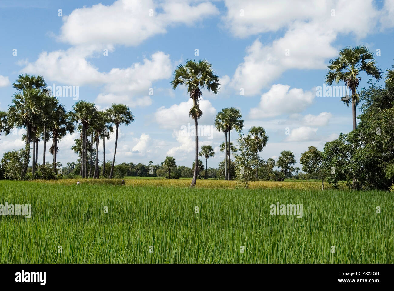 Landscape with rice field and palm trees, Takeo Province, Cambodia - Stock Image