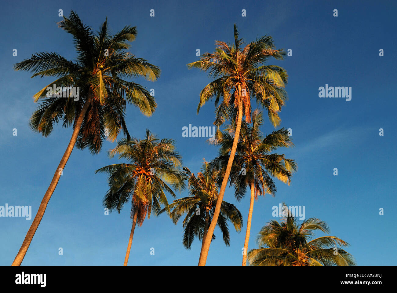 Palm trees in evening light, island Kho Phangan, Thailand - Stock Image