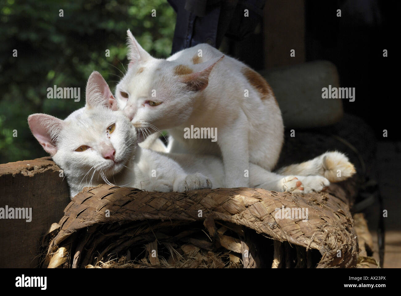 Two fondling cats, Cambodia Stock Photo