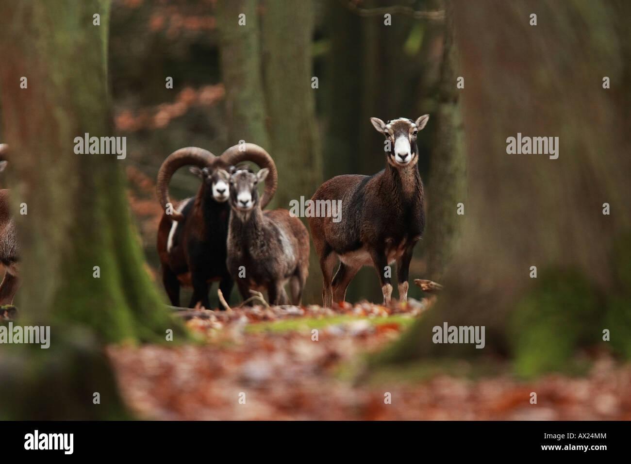 European Mouflons (Ovis ammon musimon, Ovis gmelini musimon, Ovis orientalis musimon) - Stock Image