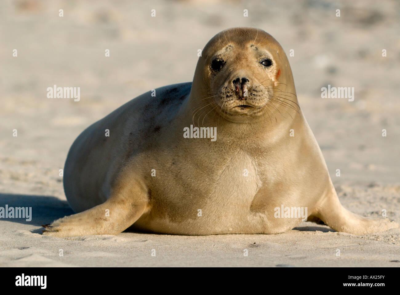 Young Atlantic Grey Seal (Halichoerus grypus), Helgoland Island, North Sea, Lower Saxony, Germany, Europe Stock Photo