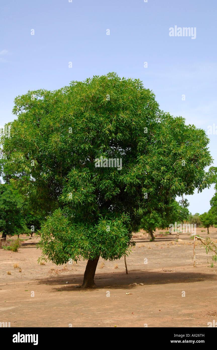 Shea butter tree, Karite tree, Vitellaria paradoxa, syn. Butyrospermum parkii, B. paradoxa, Burkina Faso Stock Photo