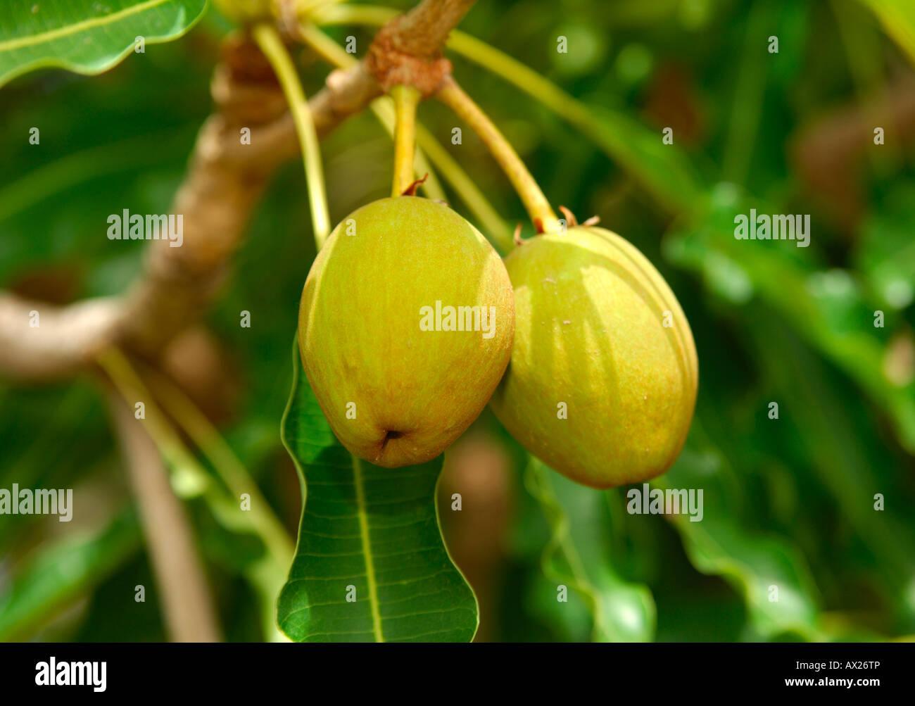 Fruits of Shea butter tree, Karite tree, Vitellaria paradoxa, syn. Butyrospermum parkii, B. paradoxa, Burkina Faso Stock Photo