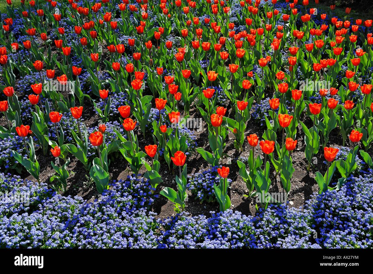 Tulip flowerbed, Austria, Europe Stock Photo