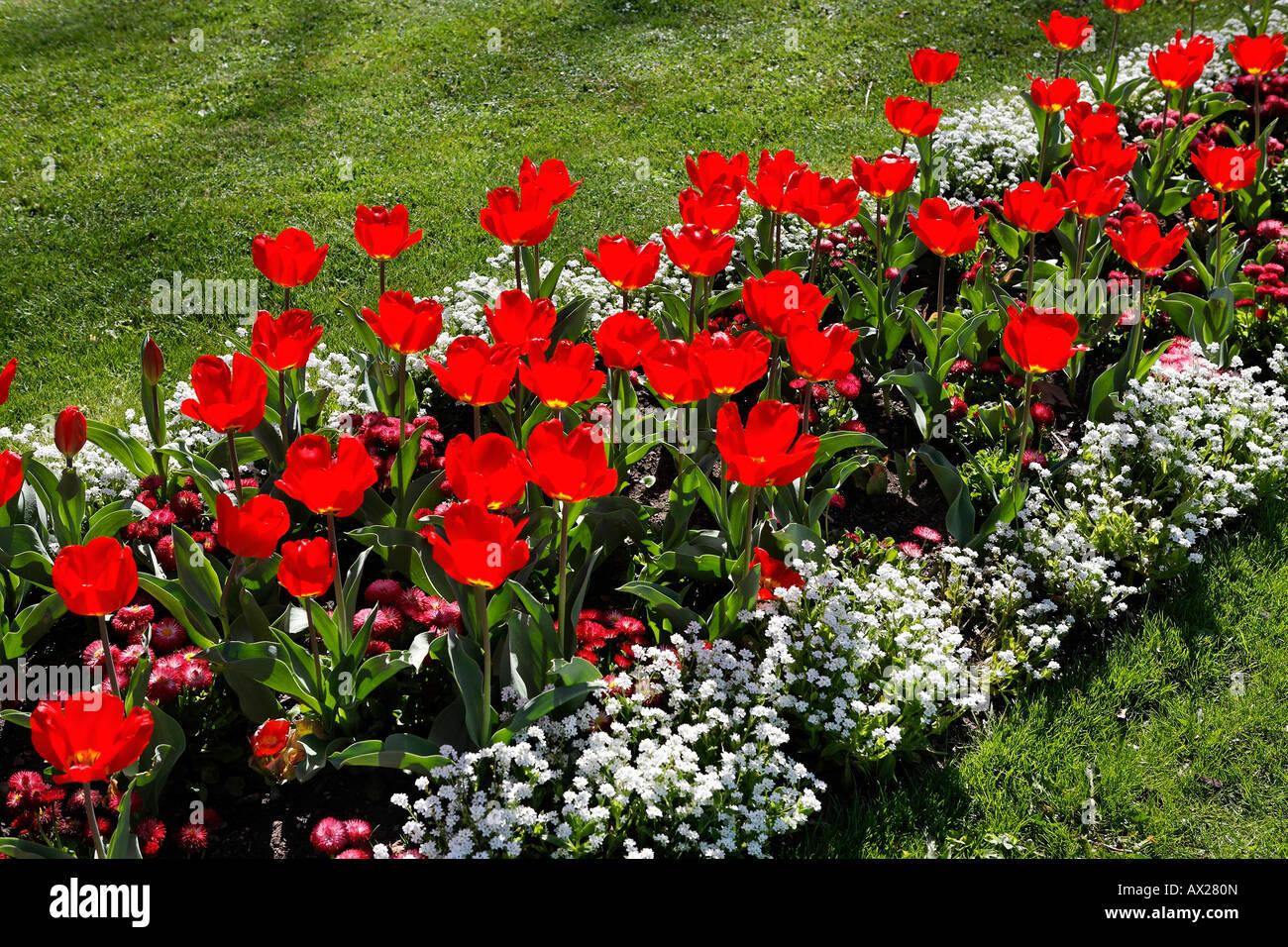 Tulip flowerbed Stock Photo