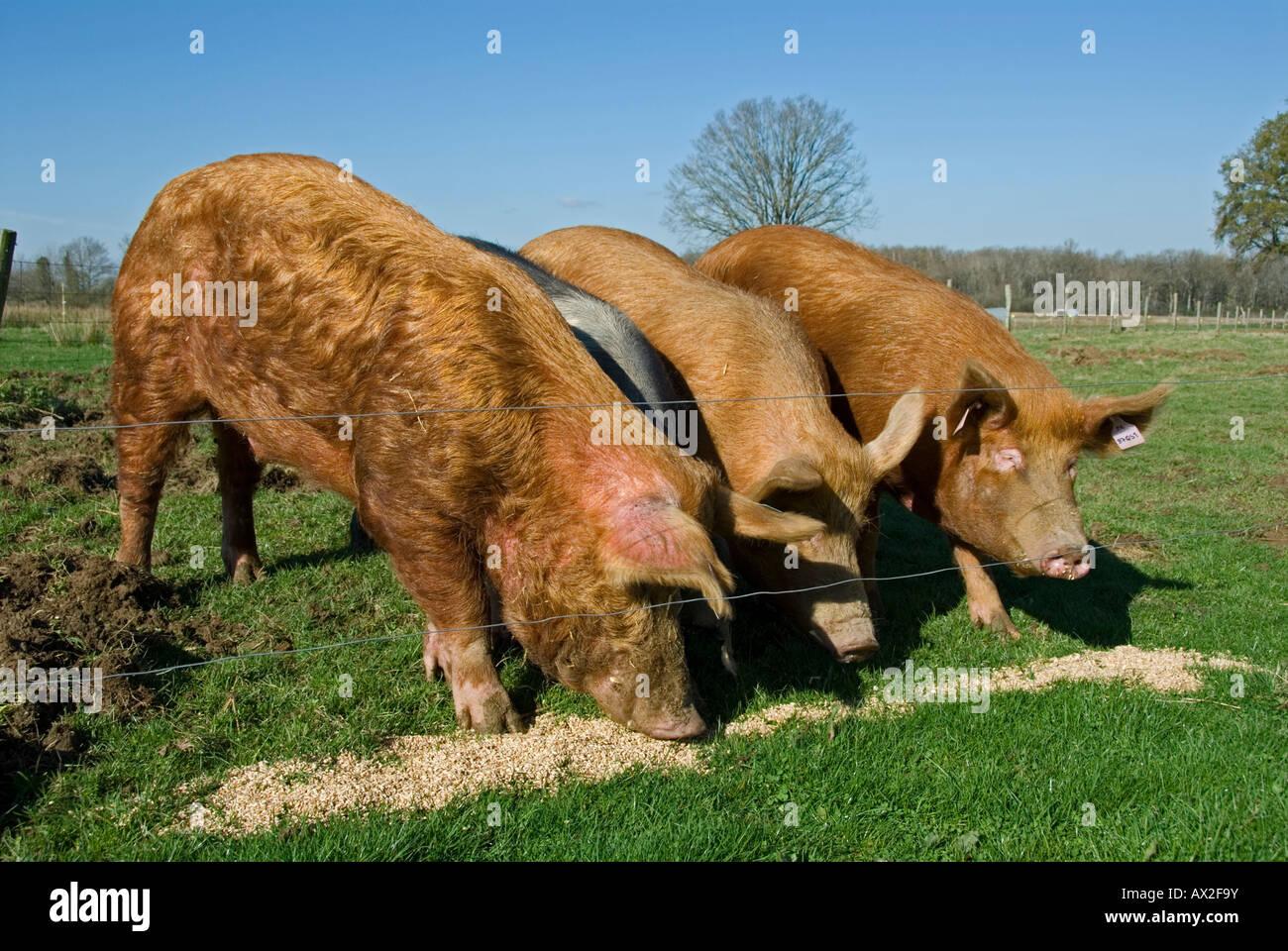 Stock Photo Of Three Tamworth Pigs Feeding On Corn The Photo