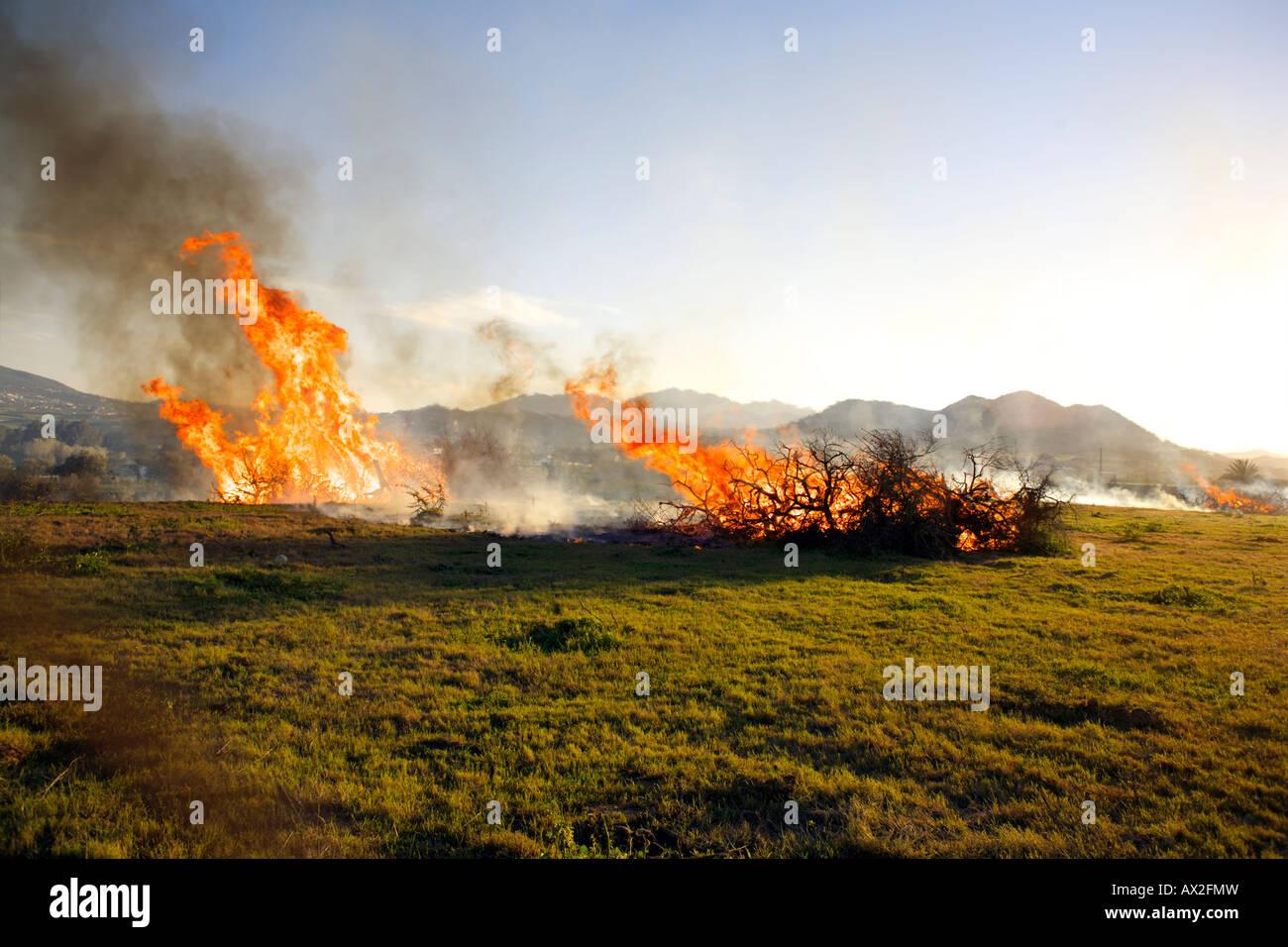 Burning diseased olive trees Cartama, Andalucia, Spain - Stock Image