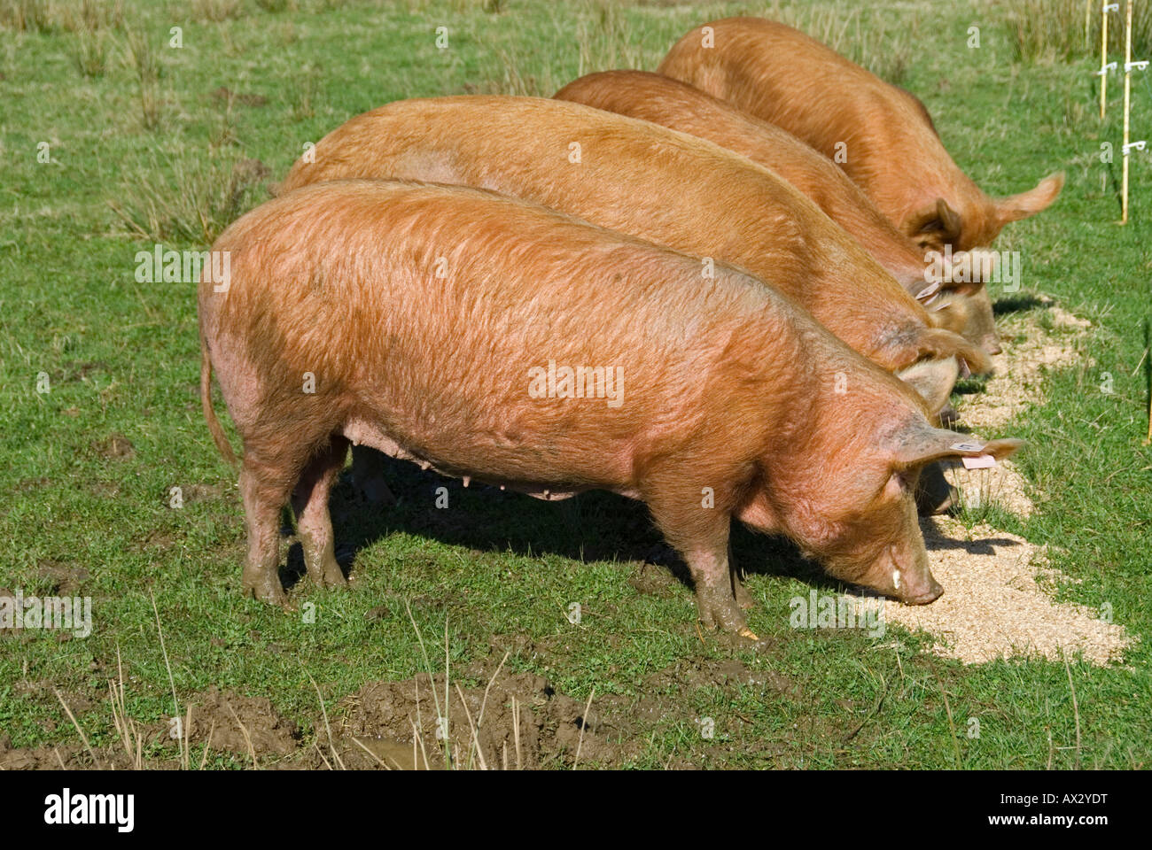 Stock Photo Of Four Tamworth Pigs Eating Their Feed The