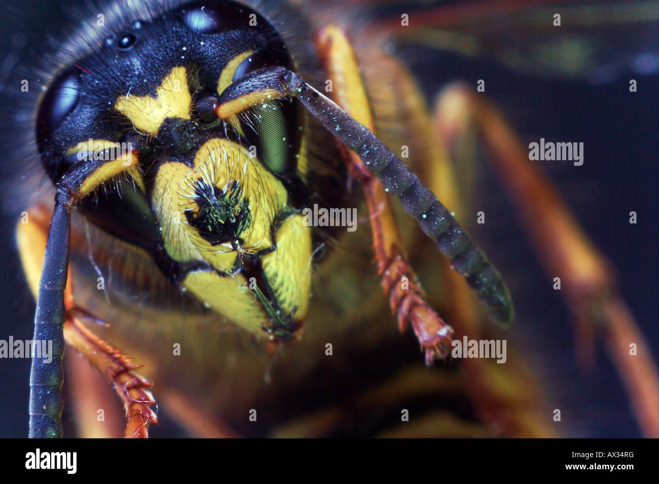 Wasp looking at the camera - Stock Image