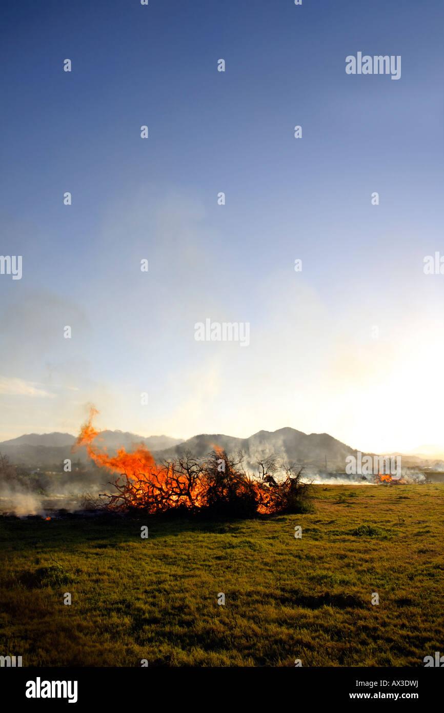 Burning diseased olive trees, Cartama, Andalucia, Spain - Stock Image