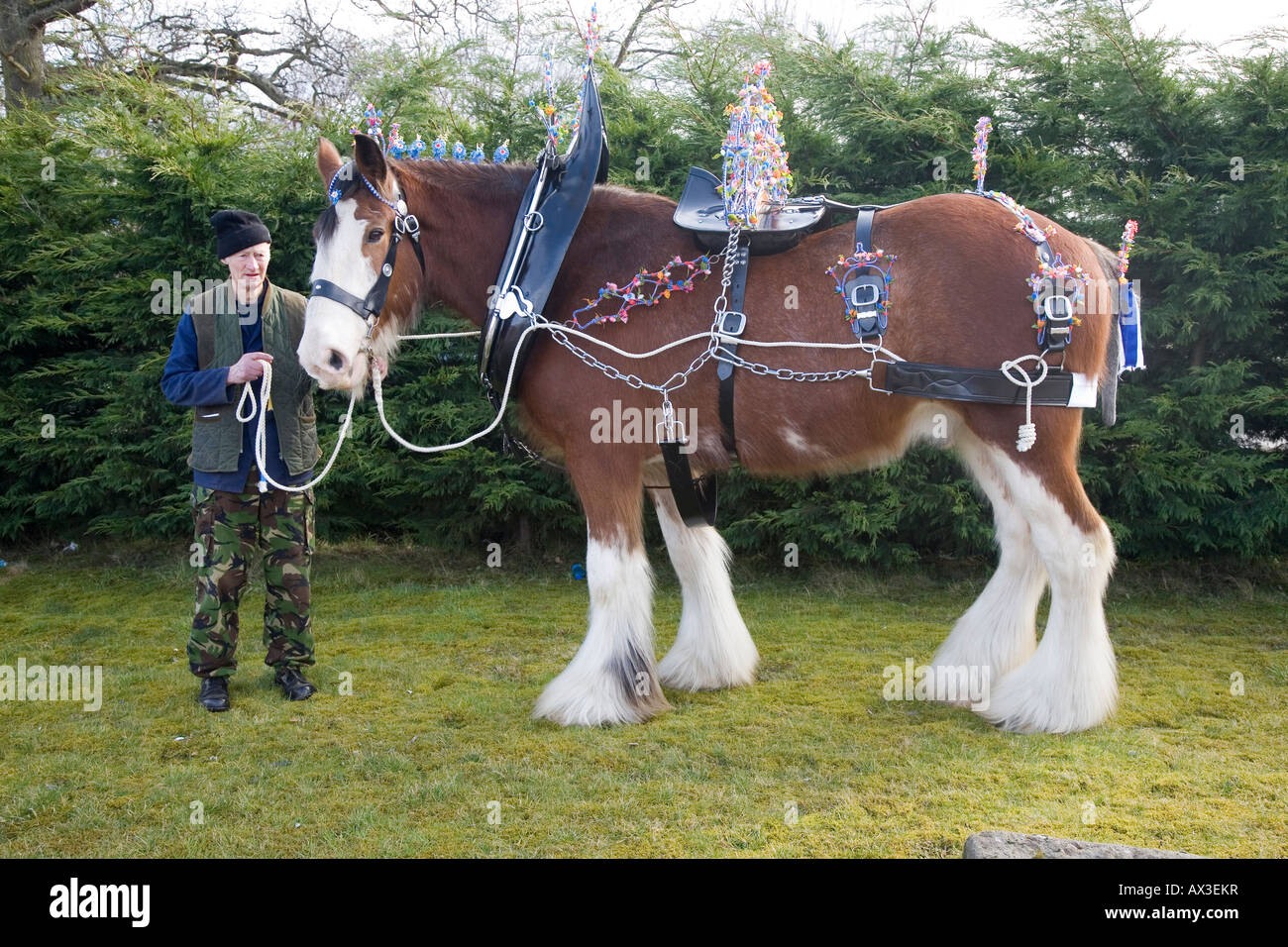 Clydesdale Horse in Harness with Handler, The Clydesdale is a breed of draught horse derived from the farm horses - Stock Image
