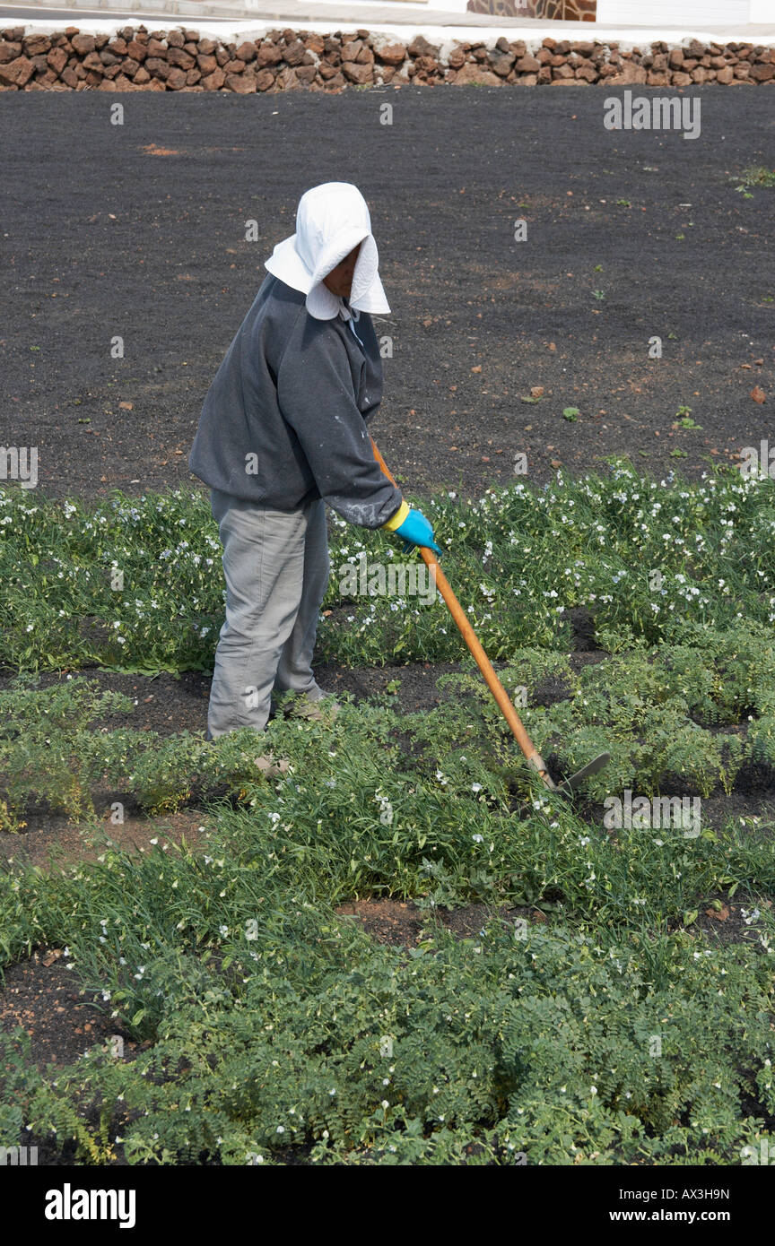 Local woman wearing large white hat tending vegetables growing in volcanic ash on Lanzarote in the Canary islands. - Stock Image