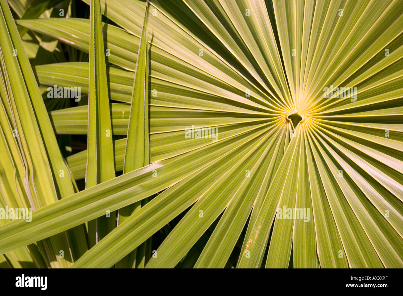 Green palm frond leaf on the island of Islamorada, Florida, USA - Stock Image