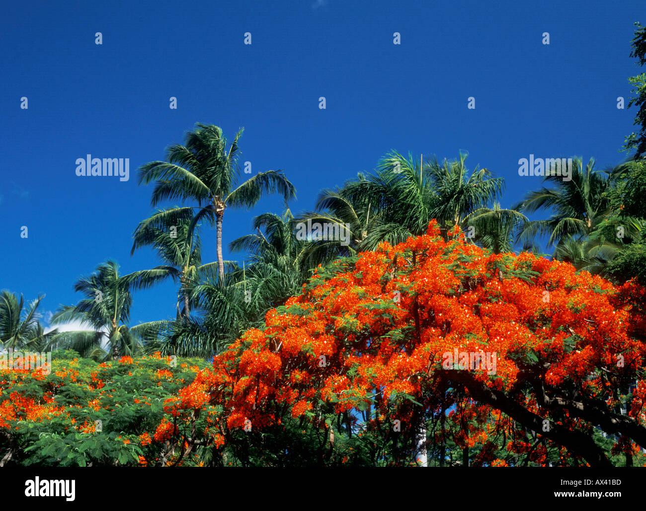 Royal Poinciana trees blooming on Maui Hawaii Stock Photo: 1720764 ...