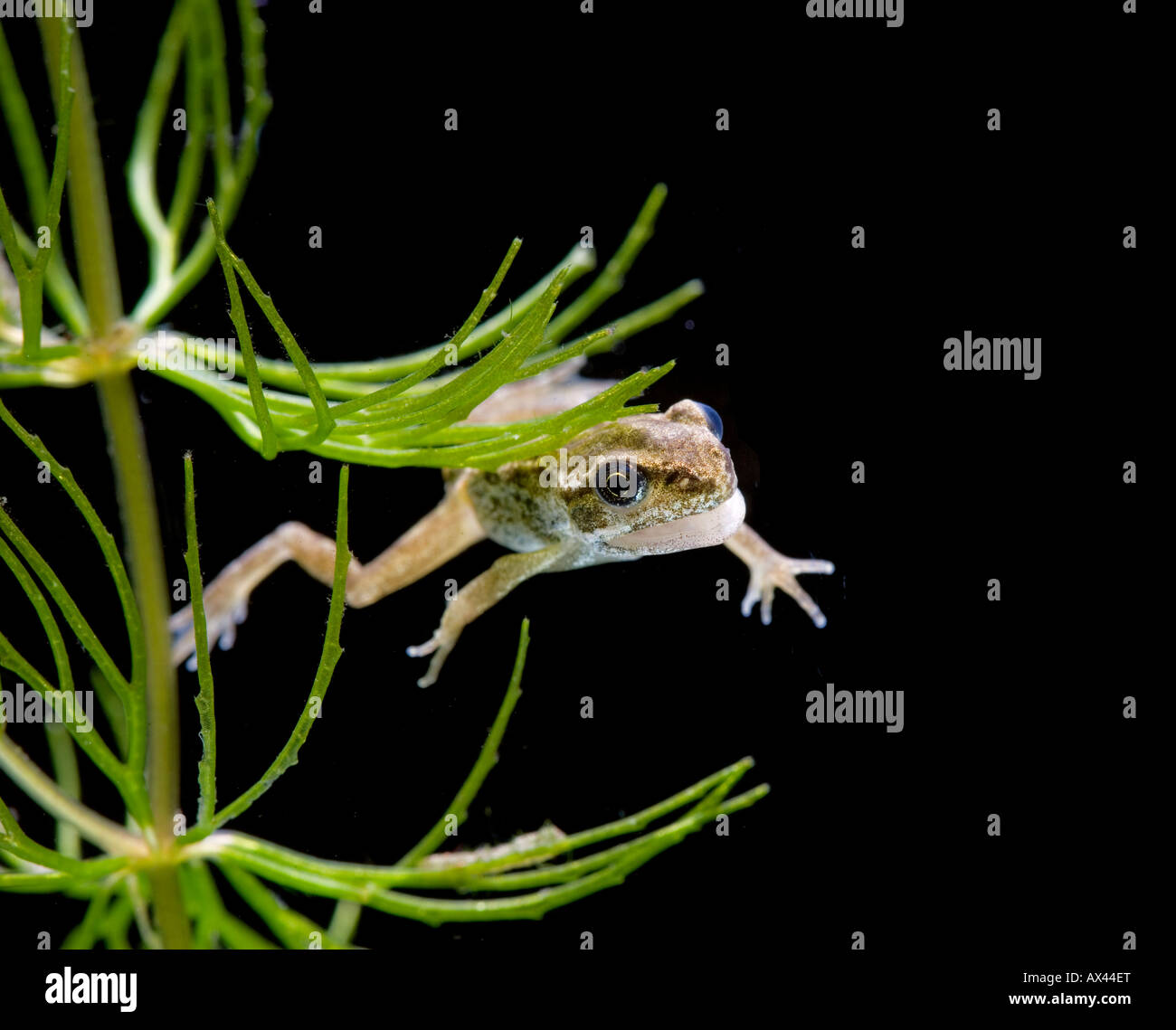 Common frog Rana temporaria tadpole with 4 legs no tail - Stock Image