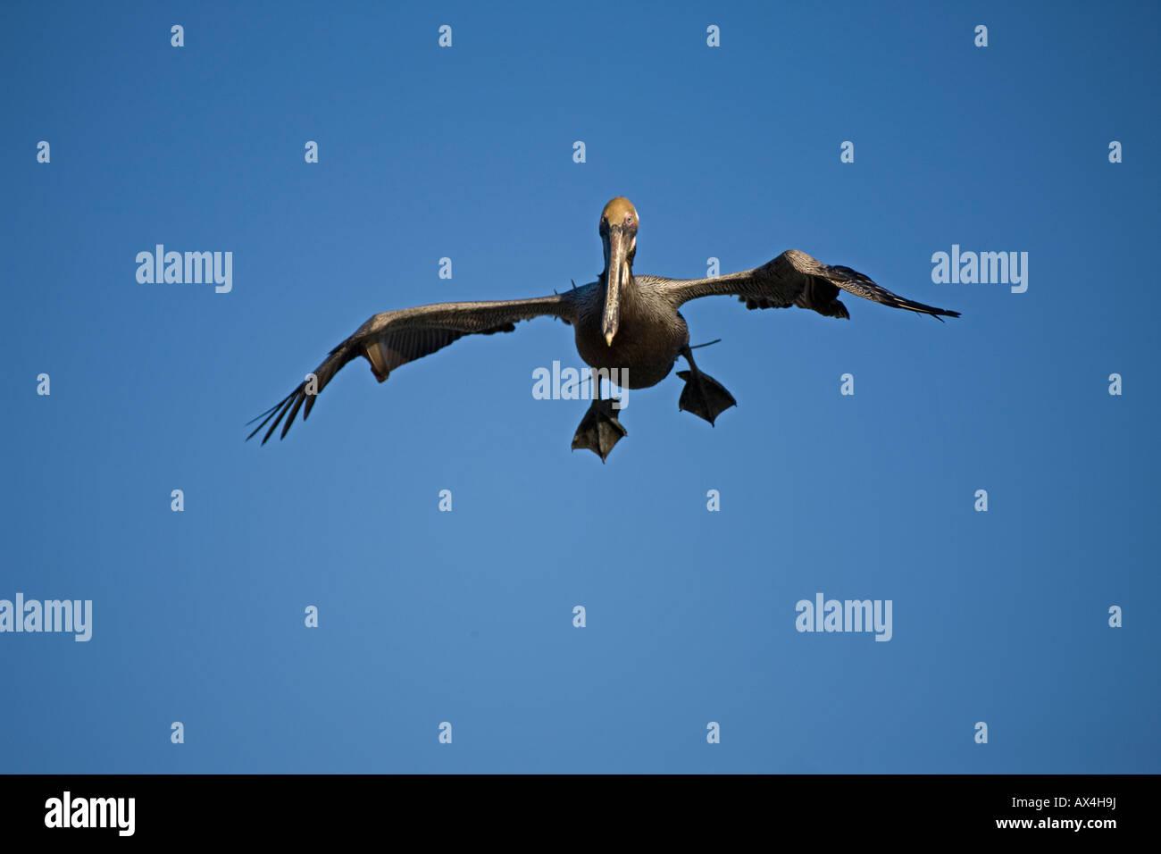 Brown Pelican (Pelecanus occidentalis) Sonora Mexico Adult Soaring - Stock Image