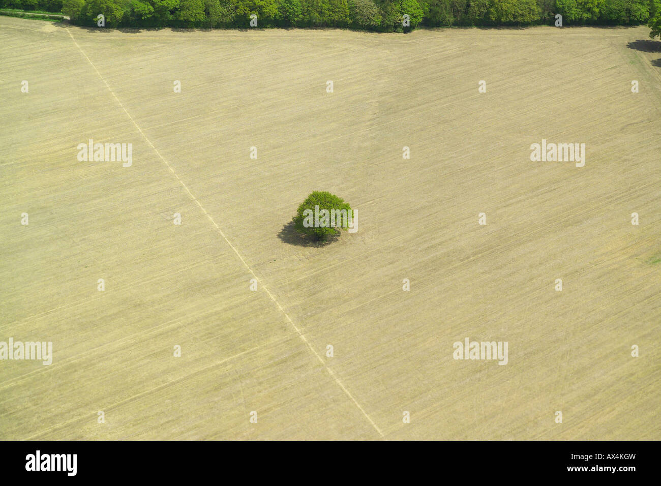 Aerial view of a single tree in a middle of a harvested field Stock Photo